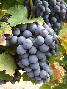 loire valley wines cabernet franc grapes