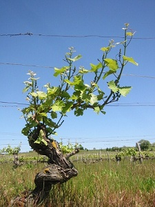 Loire valley wines old gnarled vine